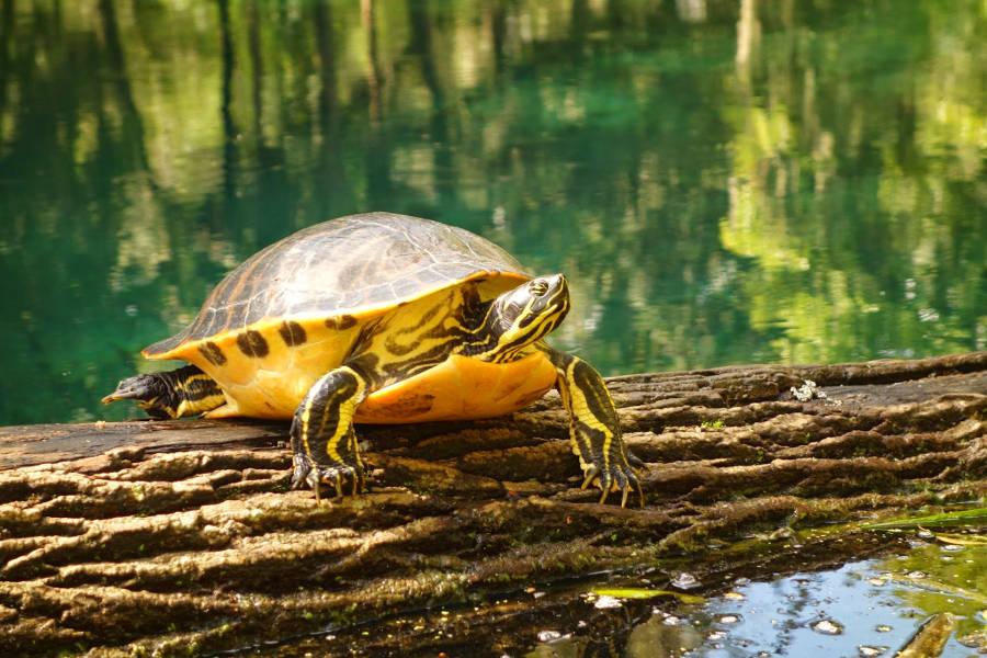 Schildkröte am Fort King Paddling Trail