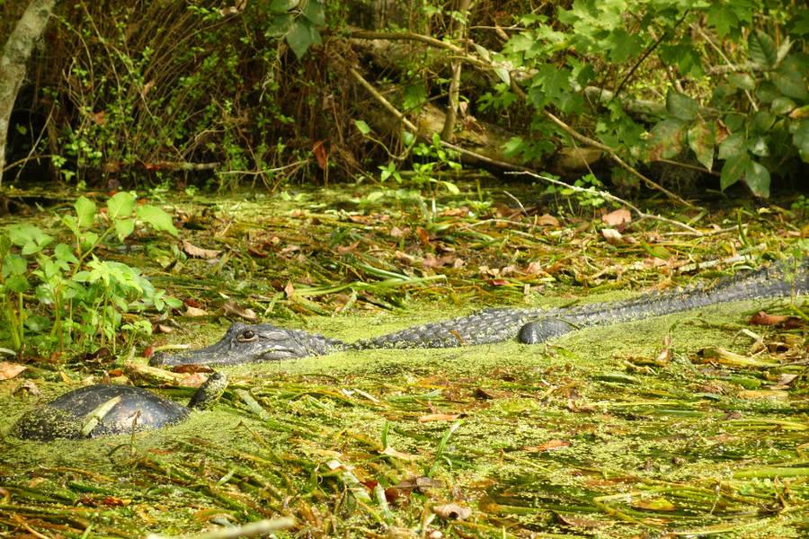 alligator_silver_springs_state_park