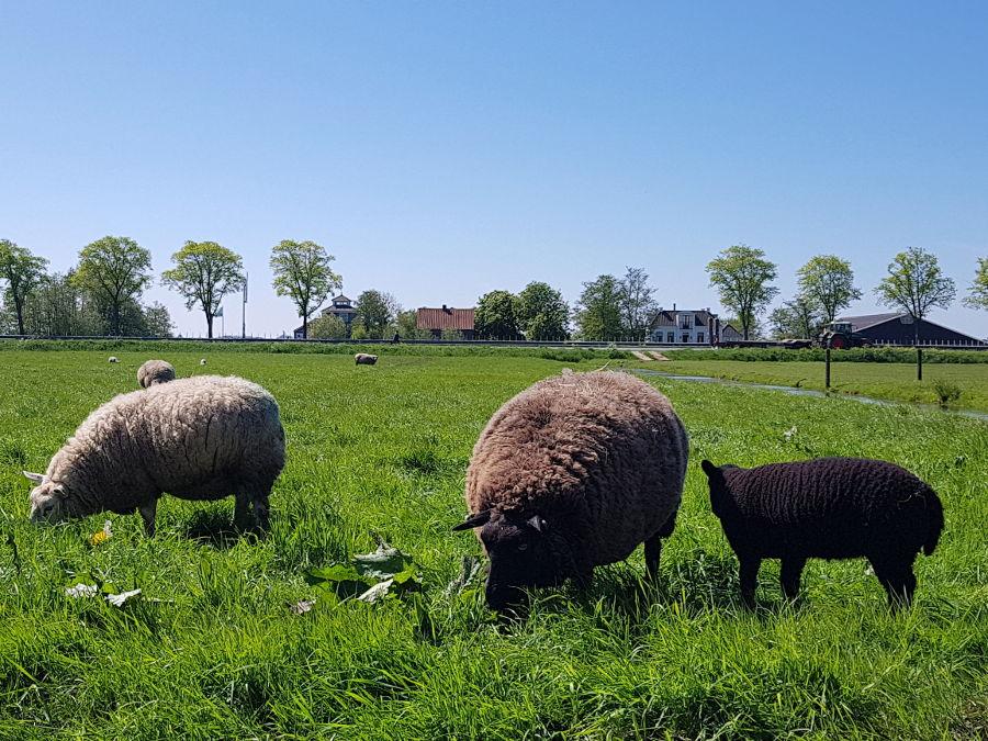 niederlande natur schafe